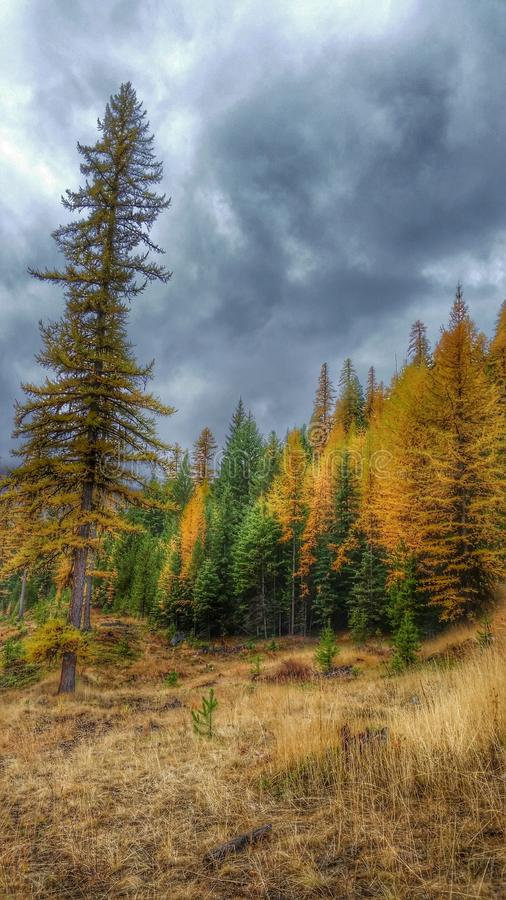 Autumn Tamaracks With Stormy Sky immagini stock