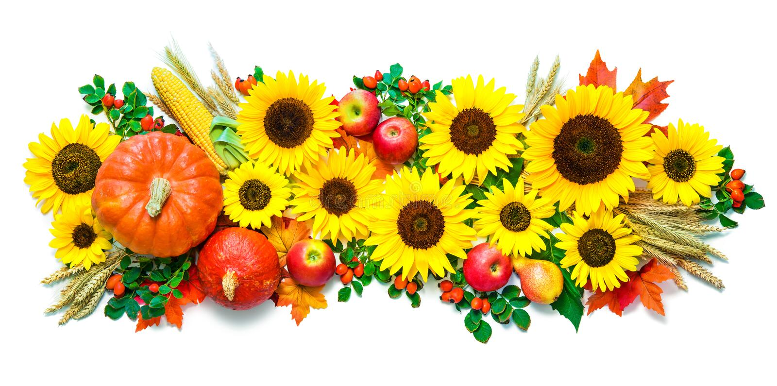 Autumn or Thanksgiving background with sunflowers, pumpkins, app royalty free stock image
