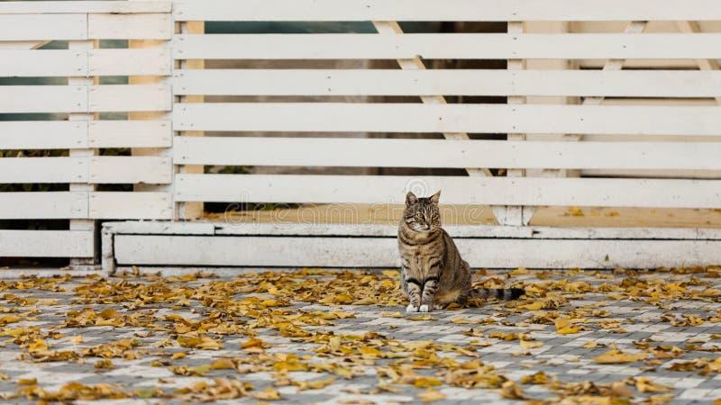 Autumn Time De grijze kat zit dichtbij de gevallen gele bladeren tegen stock foto's