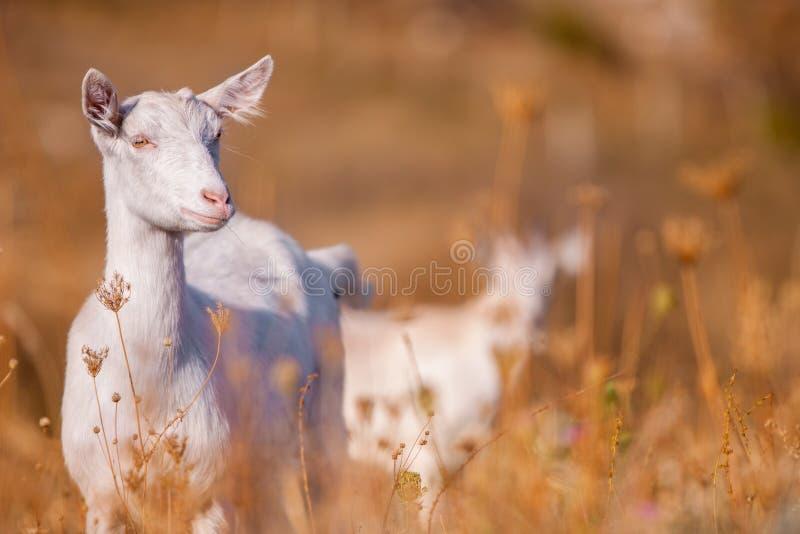 Autumn Time Une jeune chèvre blanche mange la haute herbe sèche jaune photo libre de droits