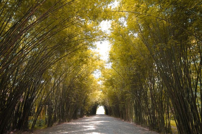 Autumn tone Bamboo forest in thailand royalty free stock photos