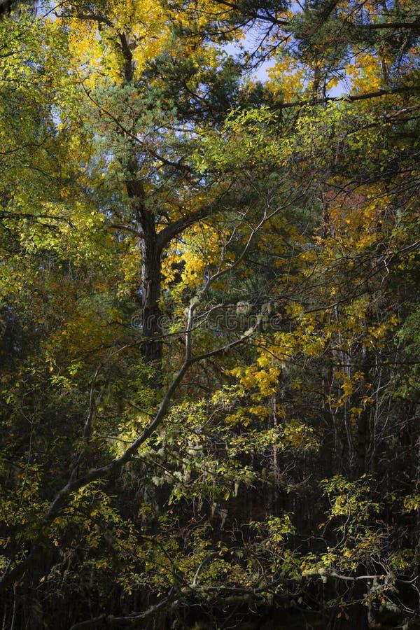 Autumn Tones bij Abernethy-bos in de Hooglanden van Schotland royalty-vrije stock foto's
