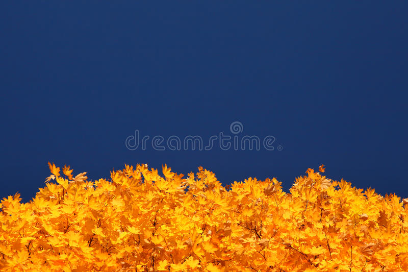 Autumn tree. Crown of tree and blue sky in autumn royalty free stock photos