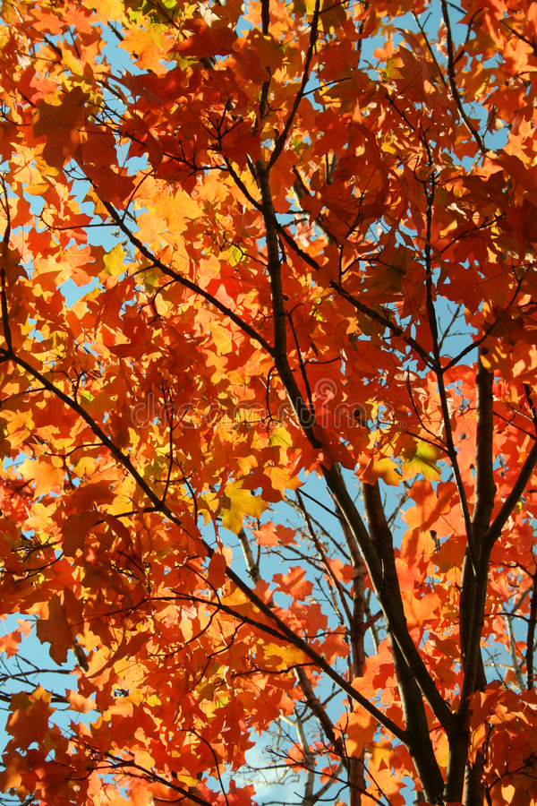 Free Autumn Tree Royalty Free Stock Image - 6804856