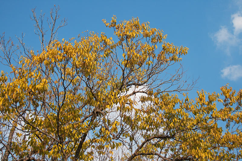 AUTUMN TREE AGAINST THE SKY. Tree with yellow autumn leaves stock photos