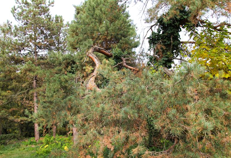 Autumn contorted tree trunk at botanical garden Macea, Arad County - Romania stock photography