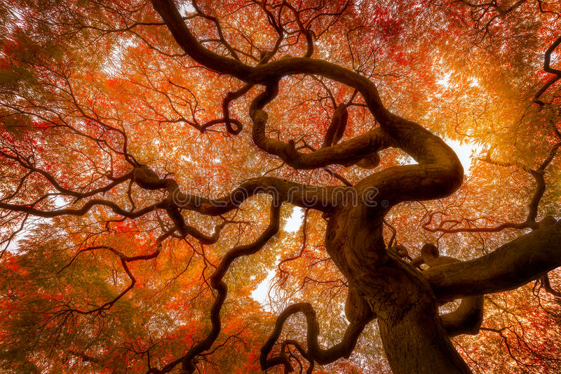 Autumn tree. Below of autumn maple tree in Shinjuku Gyoen National Garden, Tokyo, Japan royalty free stock photos