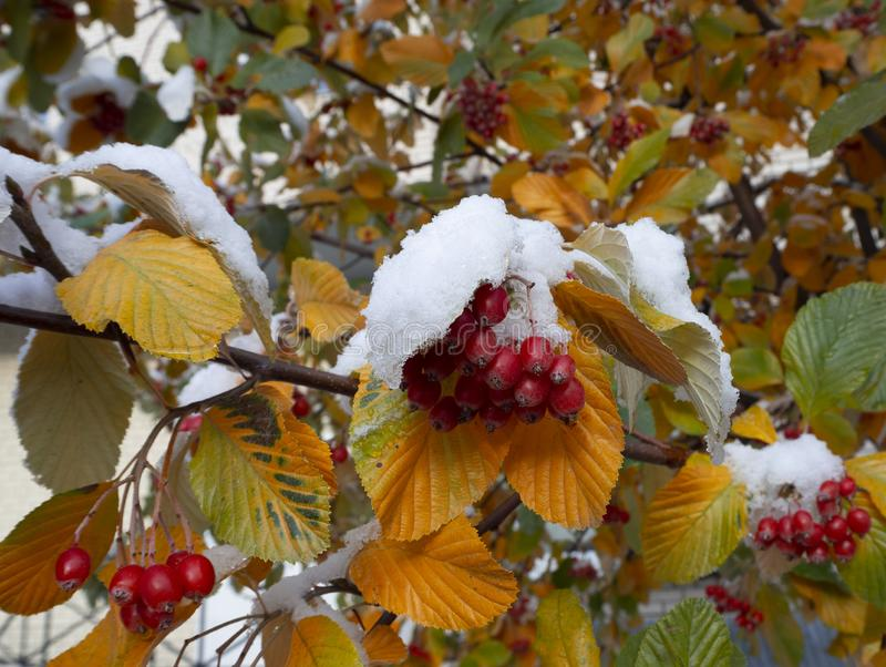 Autumn tree branches with yellow and green leaves and with red berries covered with first snow. Rowan or bird cherry berries under snow stock photography