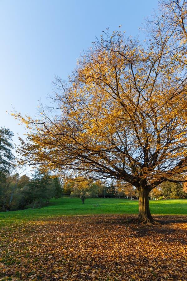 Autumn Tree con el cielo azul fotos de archivo