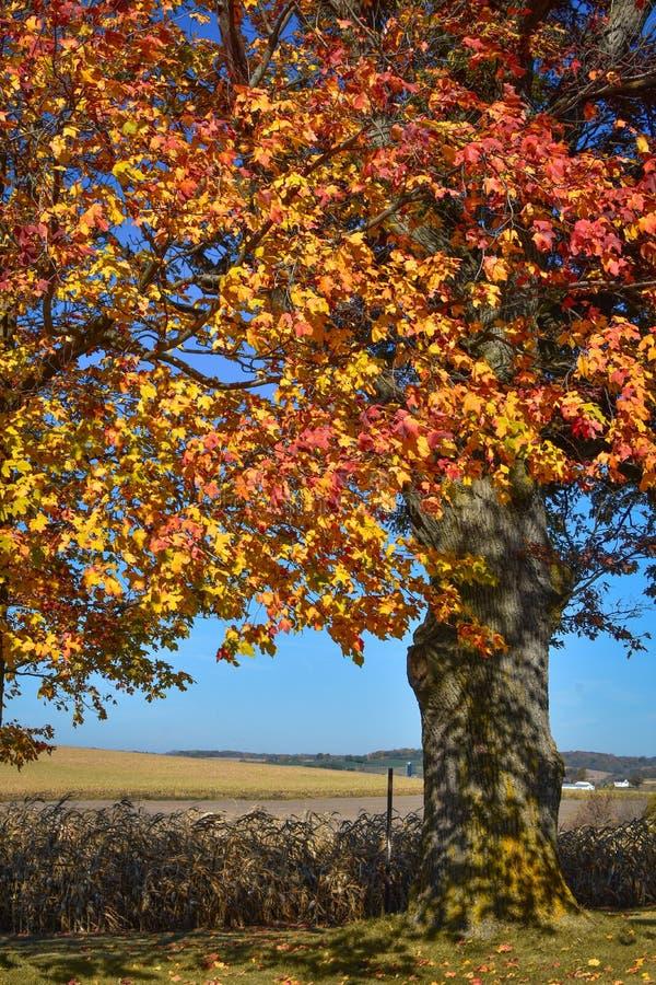 Autumn Tree dal campo dell'azienda agricola immagini stock