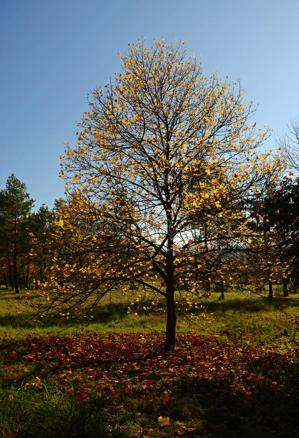 Autumn tree with fallen yellow leaves growing in the Park on a blue sky stock images