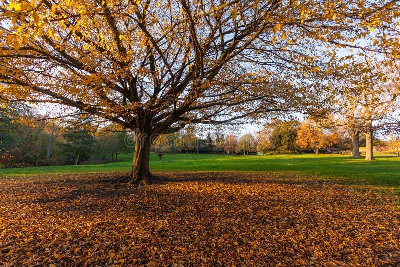 Autumn Tree grande en el parque fotos de archivo libres de regalías