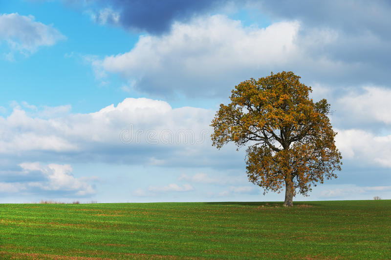 Autumn tree in green field royalty free stock images