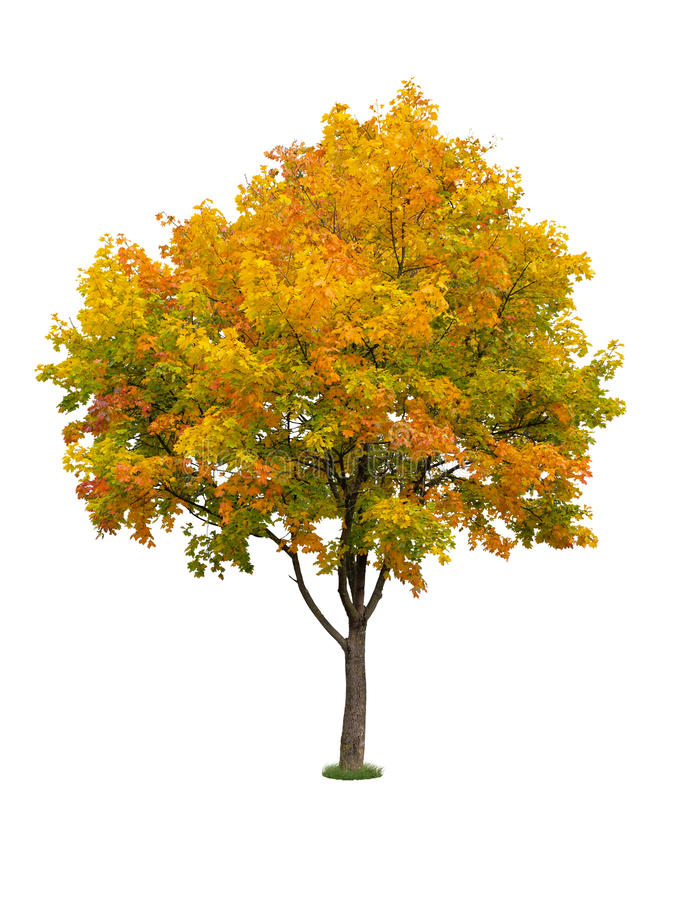 Download Autumn tree isolated stock image. Image of green, colors - 26377815
