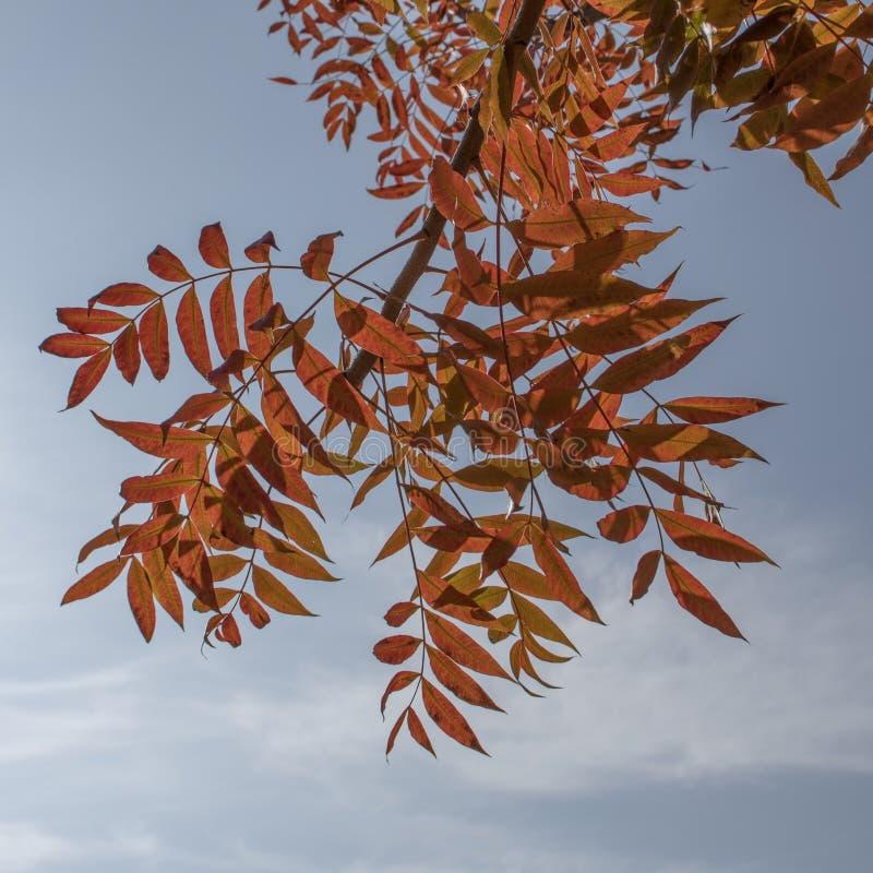 Autumn Tree Leaves mot en blå himmel arkivfoton