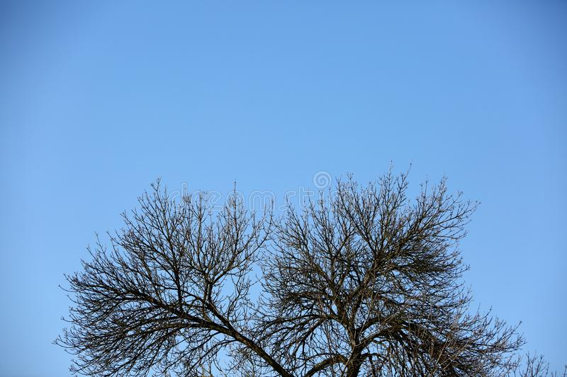 Autumn tree without leaves on the tel blue sky. stock image
