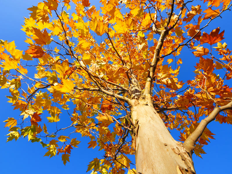 Autumn. Tree in autumn other blue sky stock photography