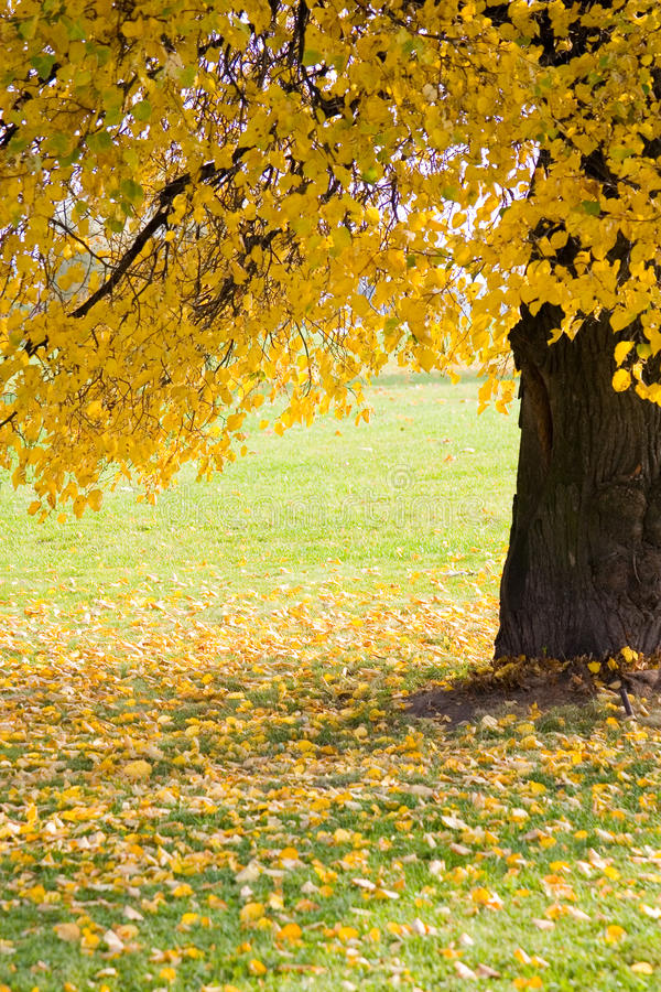 Autumn tree in the park royalty free stock image
