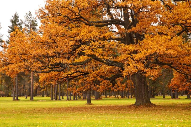 Autumn tree in park. Beautiful autumn tree in park royalty free stock image