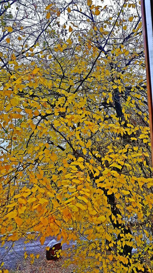 Autumn tree in a park. Autumn tree park fall yellow leaves leaf stock photos