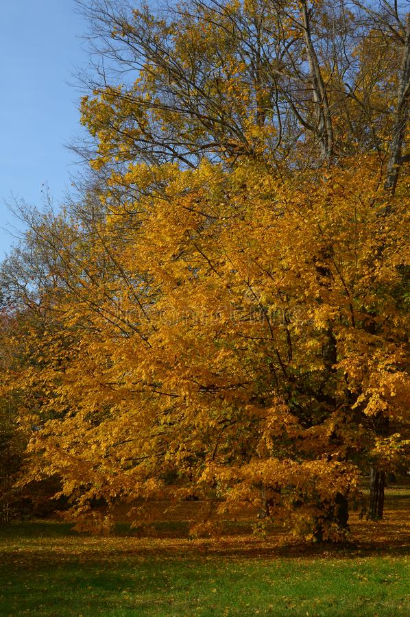 Autumn tree in the park, yellow-orange leaves during a sunny day stock photo
