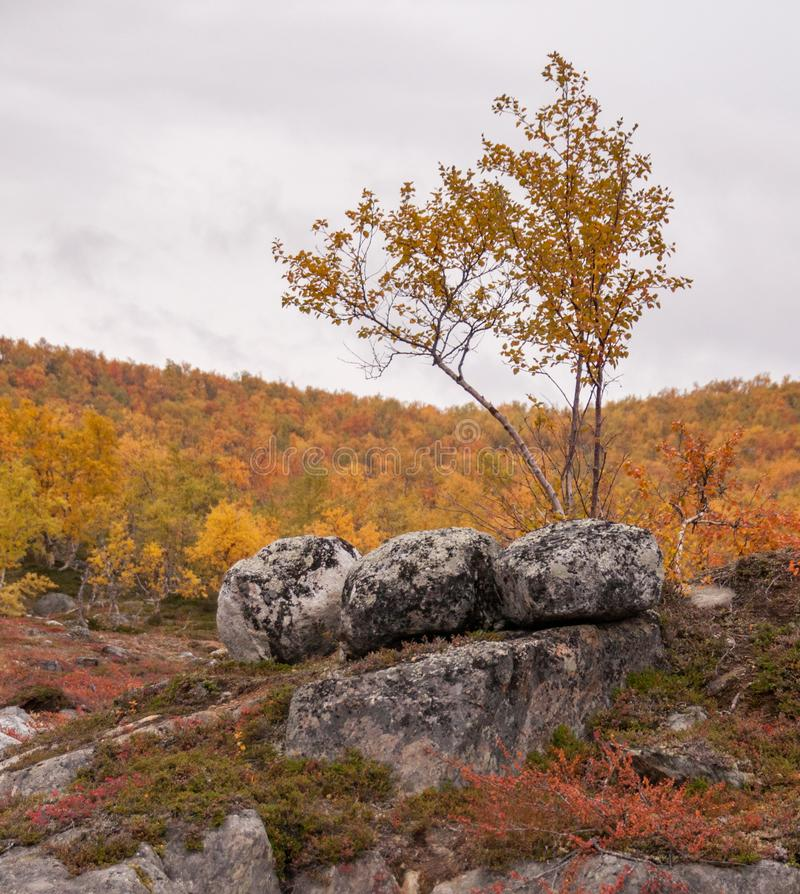 Lonely birch and three eyecatching rocks in golden autumn Lapland. Nice red and yellow backround. Good backround image stock photography