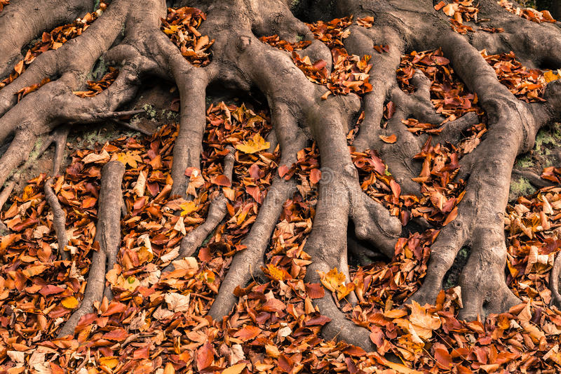 Autumn Tree Roots stock foto's