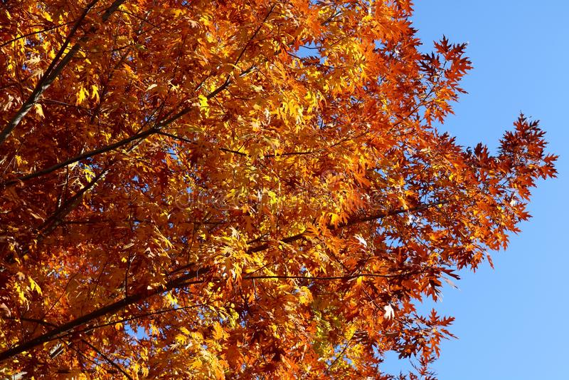 Autumn Tree-Schattenbild stockfotos