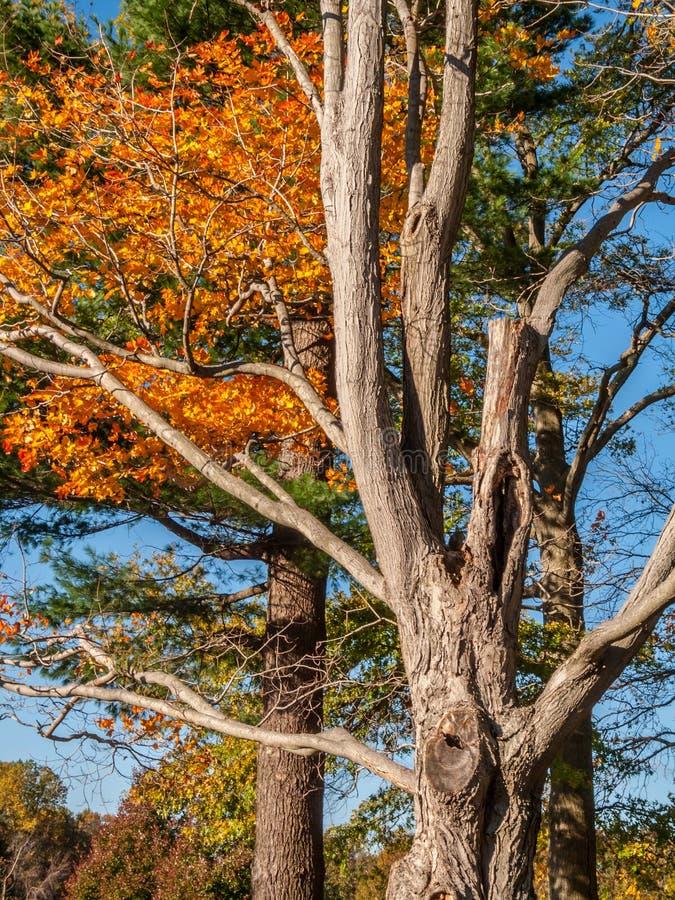 Autumn Tree Trunk foto de stock royalty free