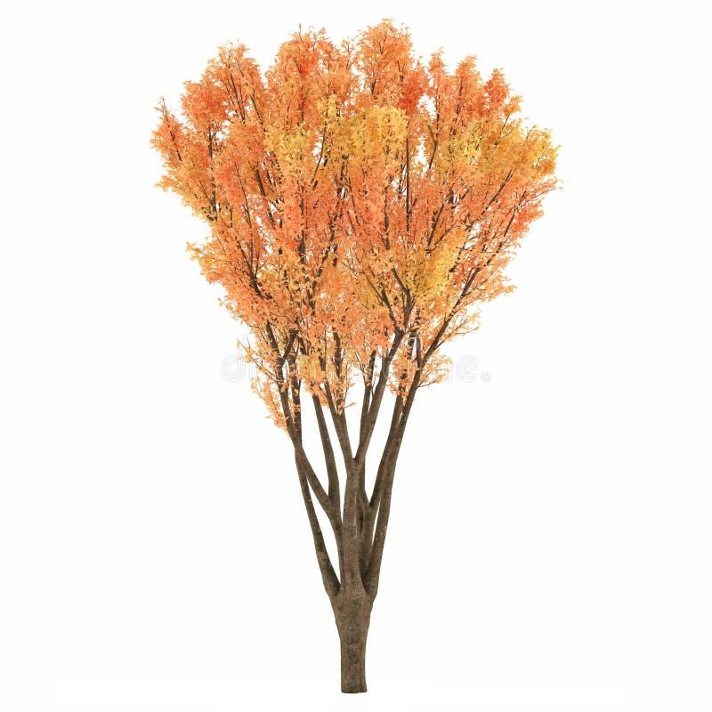 Download Autumn tree stock illustration. Image of maple, green - 36408880