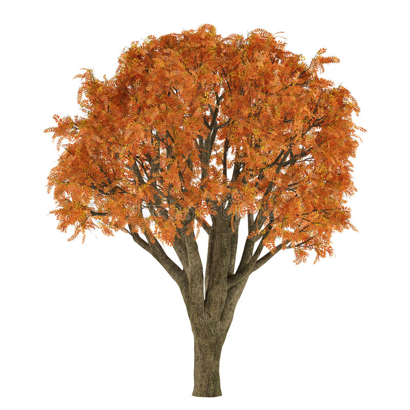 Download Autumn tree stock illustration. Illustration of maple - 36408903