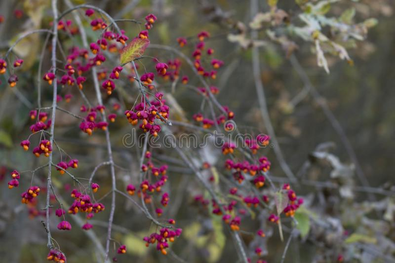 Autumn tree with wild red berries and colorful leaves. Selective focus stock photos