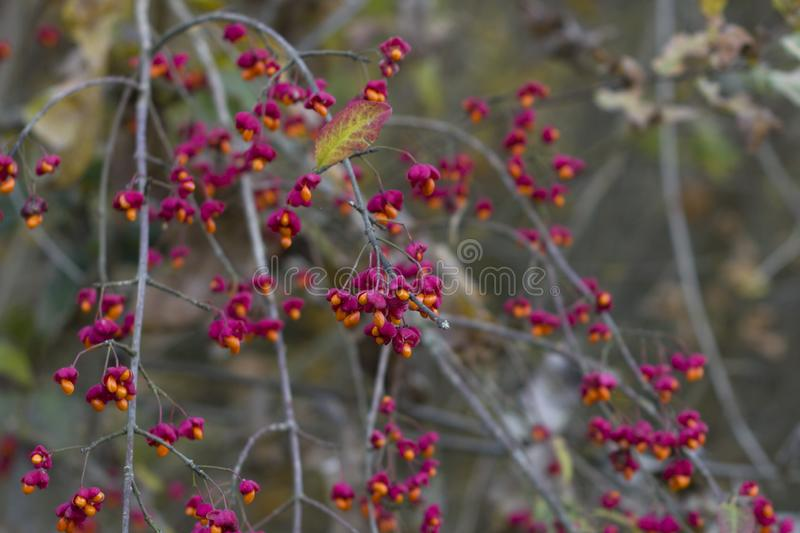 Autumn tree with wild red berries and colorful leaves. Selective focus royalty free stock photo