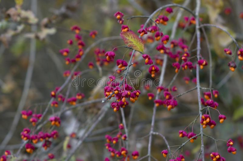 Autumn tree with wild red berries and colorful leaves. Selective focus royalty free stock image