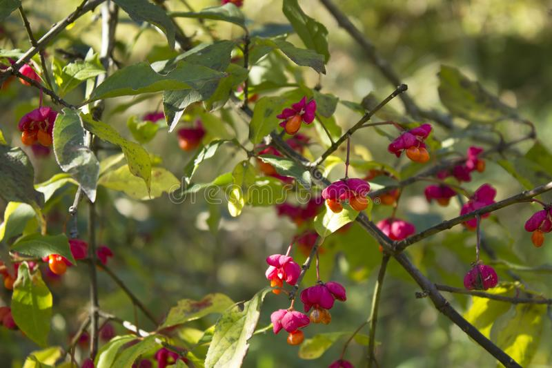Autumn tree with wild red berries and colorful leaves. Selective focus stock photography