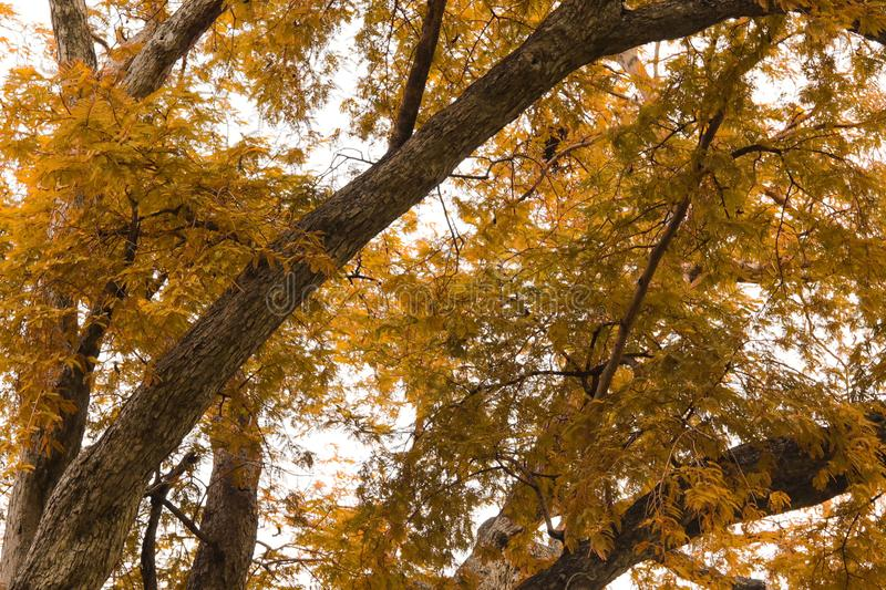 Autumn tree with yellow leaves and branch in public park royalty free stock image