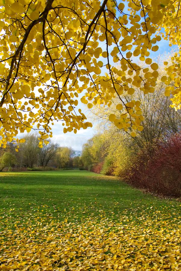 Autumn tree with golden leaves. Autumn tree with yellow leaves on sunny day in park stock photo
