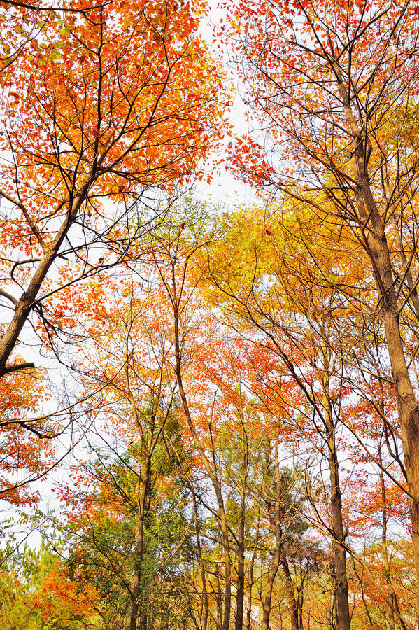 Autumn trees. Bright and colorful autumn trees in a forest royalty free stock image