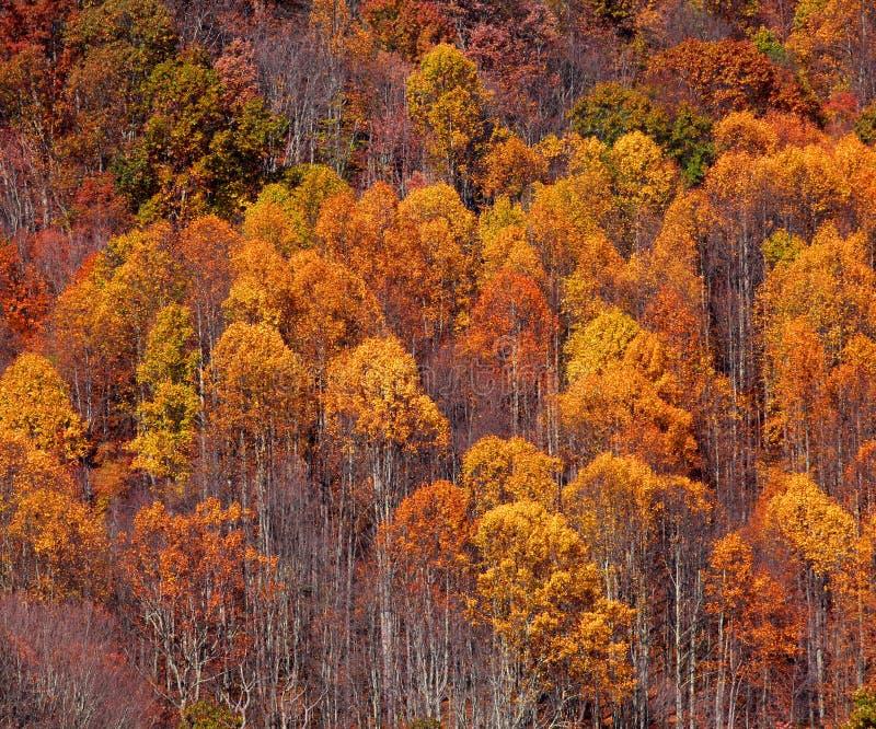 Autumn trees. Bright orange autumn trees on a hill royalty free stock photos