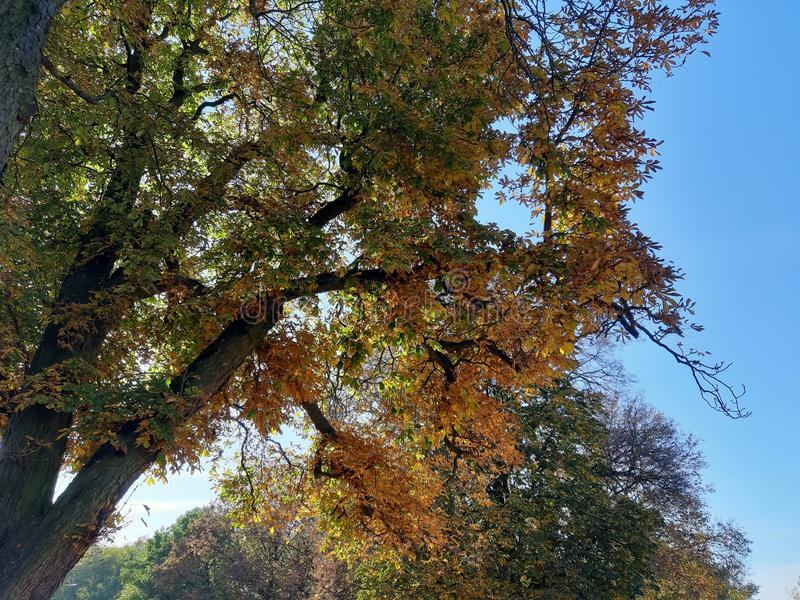 Autumn trees above my head royalty free stock image