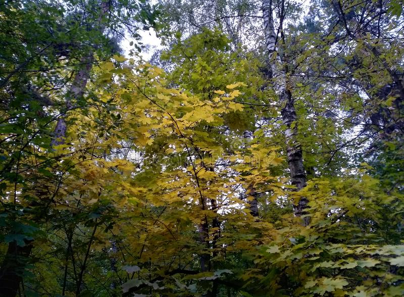 Autumn trees brown gray bark and yellow leaves and blue sky natural background Wallpaper macro royalty free stock image