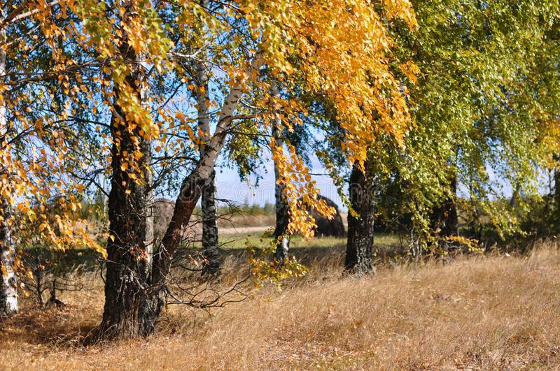 Autumn trees in a field with green and golden leaves stock photos