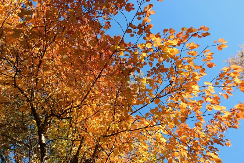 Download Autumn Trees With Golden Leaves Stock Photo - Image: 43047174