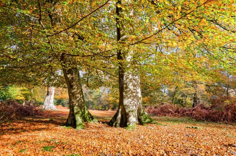 Autumn Trees na floresta nova fotos de stock