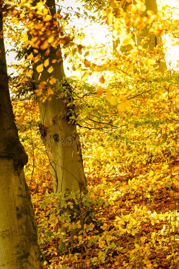Autumn trees in park. Vertical shot of trees in forest or park during warm sunny autumn weather, gold orange yellow colored leaves royalty free stock images