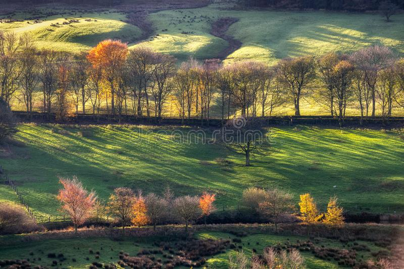 Golden racking light autumn trees Peak district UK. Autumn trees in a row and sunrays passing through it. England stock photo