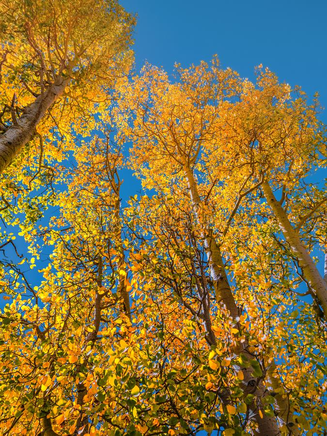 Autumn trees in the Sierra Nevada mountains in early October royalty free stock photos