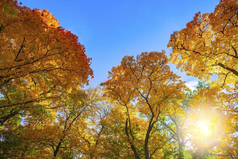 Autumn trees in sunny autumn park royalty free stock photography