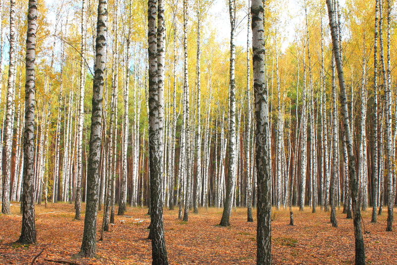 Autumn trees with yellowing leaves. Beautiful birch royalty free stock image