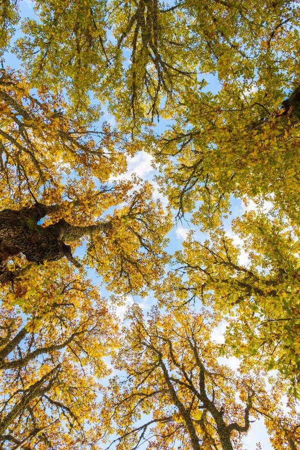 Autumn in the treetops. Angle flat tops nadir autumn oaks stock photo